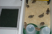 Hake Box Converted into Home Made Brooder